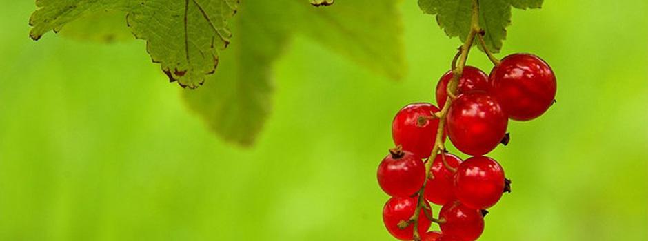 Ripsbær